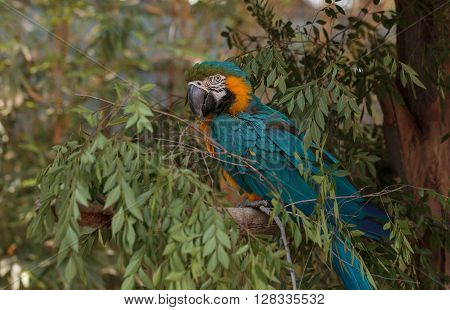 Blue and yellow Macaw bird Ara ararauna perches in a tree with its bright feathers folded under.