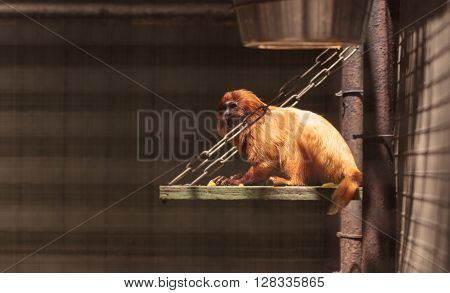 Golden Lion Tamarin Leontopithecus rosalia monkey sits in a cage in a zoo.