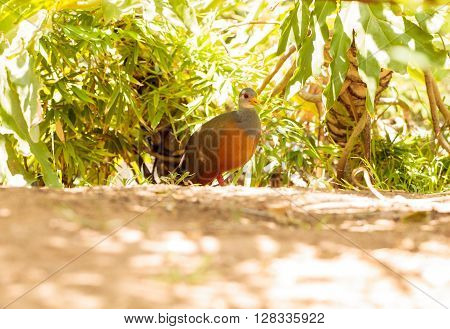 Grey necked wood rail bird Aramides cajanea hides in the brush. It has a yellow beak and a rust colored chest with a grey neck and back.