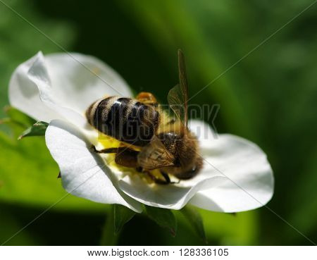 Bee on the flower. Bee at work