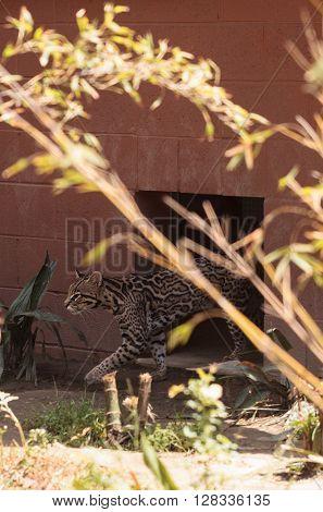 Ocelot cat Leopardus pardalis creeps out of its enclosure at the zoo