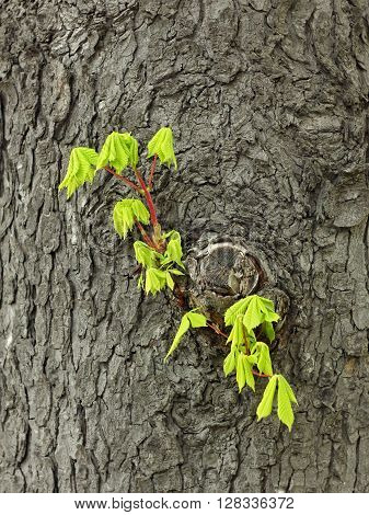 Fragile young twig of chestnut with green leaves grows on the old trunk in springtime