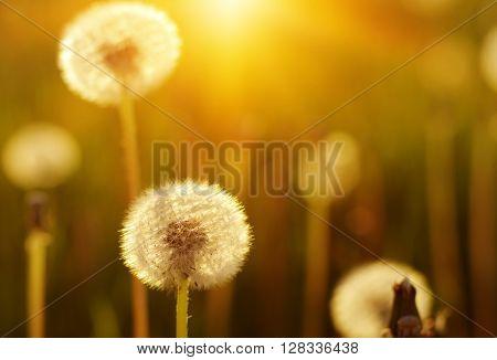 Dandelions in the sun on the field
