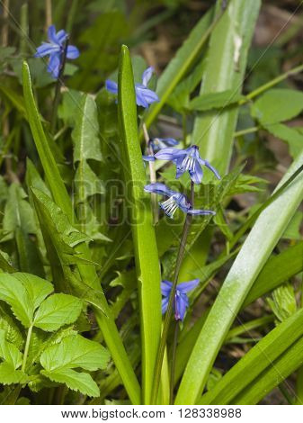 Siberian squill scilla siberica flowers macro selective focus shallow DOF
