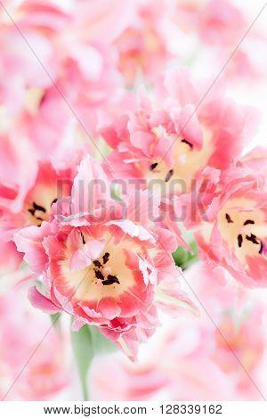 Background of beautiful pink peony tulip. soft focus