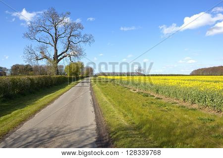 a small rural farm road beside a flowering canola field with a mature ash tree under a blue cloudy sky in springtime