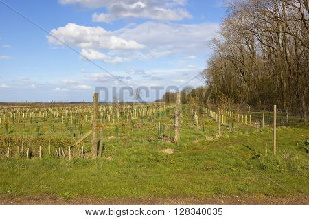 a young plantation of saplings beside a woodland copse with a view of the vale of york under a blue cloudy sky in springtime