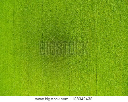 Aerial View Of Rice, Fields Agricultural Landscape Of Asia Thailand, Top And Birdeyes View Shot 90 D
