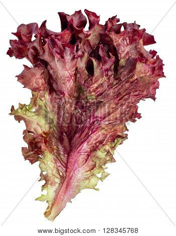 vegetable salad lettuce Lollo Rosso isolated on white background. Sheet of curly violet lettuce