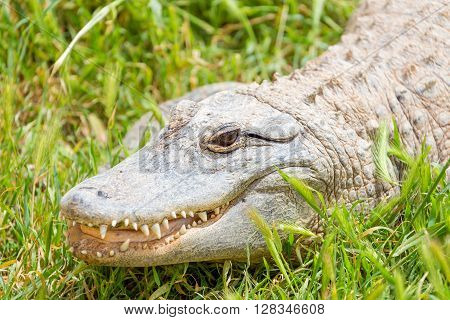 Closeup of an American alligator (Alligator mississippiensis)