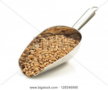 wheat grain in scoop isolated on white background