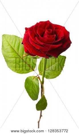 Fresh red rose isolated on white