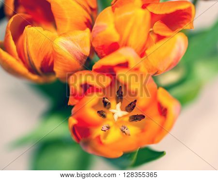 Fresh orange and red tulip seen from above. Tilt-shift lens used for a softer and romantic effect.