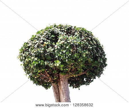 Bonsai tree on white background. green. big.