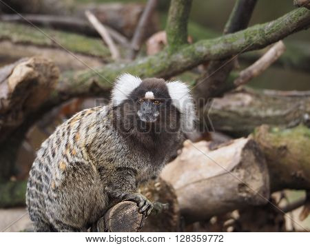 A common marmoset looking directly at the camera