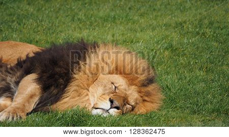A male lion lying down on the grass ** Note: Visible grain at 100%, best at smaller sizes