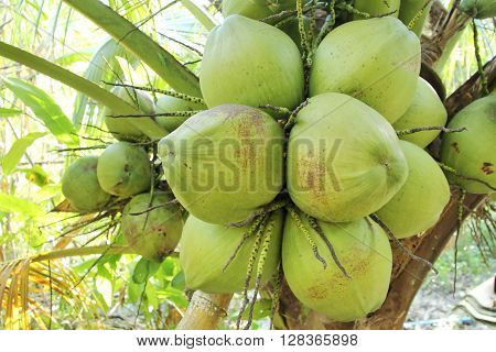 Closed up Fresh coconuts on the coconut tree