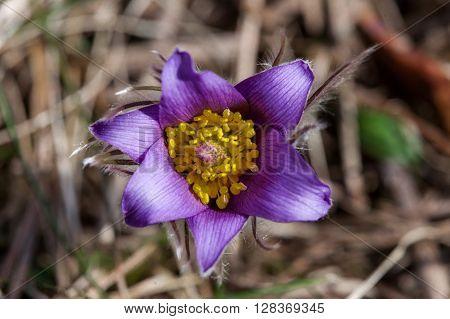 forest wild flower snow drop close up Pulsatilla