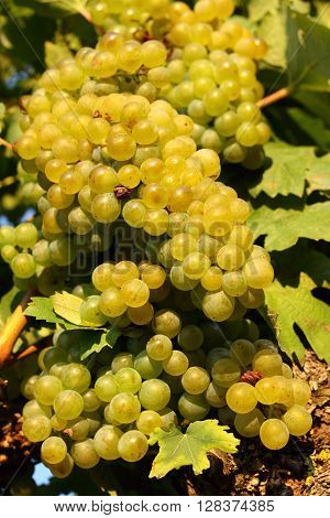 Mature green white wine grapes in the vineyard