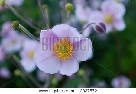 Actinidia Flower
