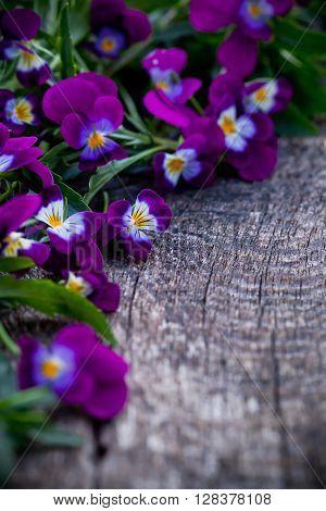 Beautiful Fresh Heartsease On Wooden Board