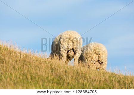 2 sheep in New Zealand - showing off their backside