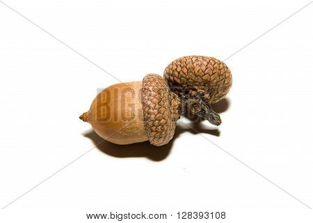 One brown acorn with caps on over white