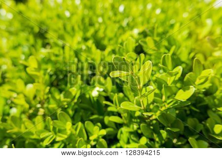 Natural background with Buxus (Boxtree boxwood). Close up photo in sunny day.