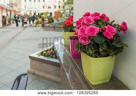 Potted flowers of azalea. Street decoration with flowers and plants. Moscow Russia.