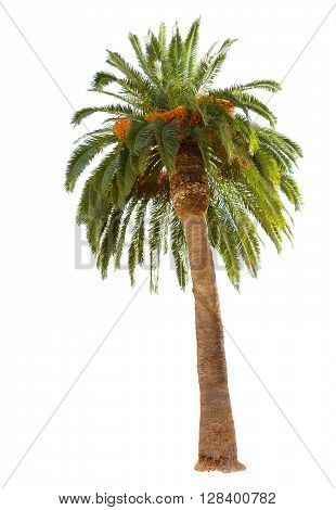 Date palm tree with green leaves isolated  on white  background