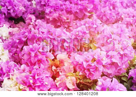 Spring Blossoming Bush Pink Flowers Background