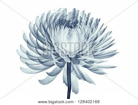 X-ray Image Of A Flower Isolated On White , The Pompon Chrysanthemum