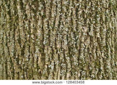 The texture of tree bark ash covered with mold and mildew.