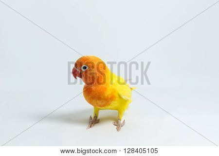 Double Yellow Lovebird chick on white background