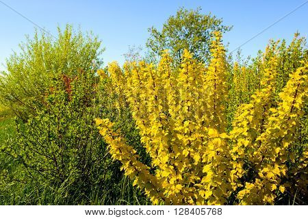 Ribes sanguineum 'Brianjou' shrub with bright yellow colored leaves on a sunny day with a blue sky in the early spring season.