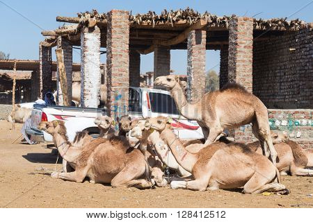 DARAW, EGYPT - FEBRUARY 6, 2016: Camels next to pick up truck at Camel market.