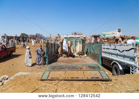DARAW, EGYPT - FEBRUARY 6, 2016: Camels on the back of truck on Camel Market in Daraw, Egypt.