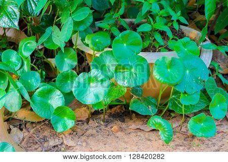 Gotu kola background.Centella asiatica (L.) Urb .