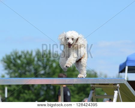 Miniature Poodle Running on a Dog Walk at an Agility Trial
