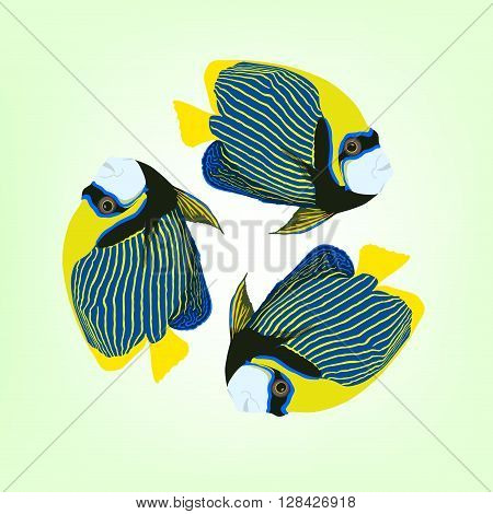 Pomacanthus imperator. Vector illustration of three swimming Emperor angelfishes.