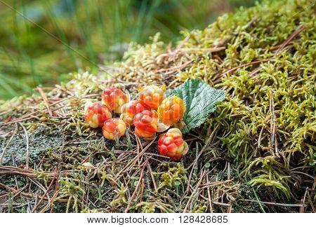 Cloudberry on a green vegetative background in wood. Fresh wild fruit