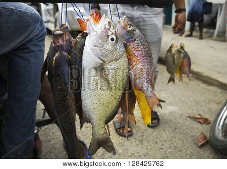 Fresh tropical coral fish caught by spearfishing.