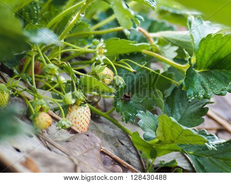 Closeup of organic raw strawberry growing on the vine ** Note: Shallow depth of field