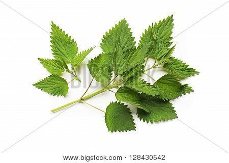 Nettle fresh green leaves on a white background.