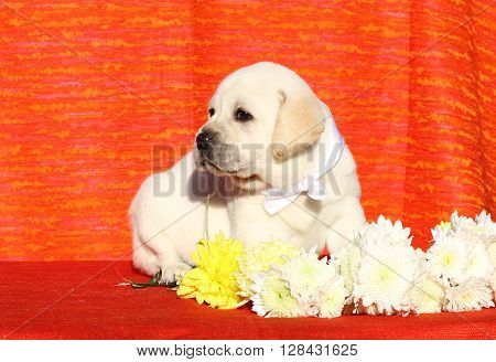 A Yellow Happy Labrador Puppy On Red With Flowers