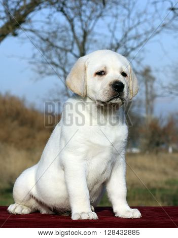 Nice Yellow Labrador Puppy On Red Close Up