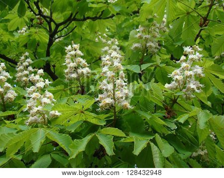 white flowers of the chestnut against the green crown of the tree