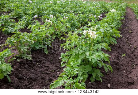 Potato bushes blooming with white flowers growing on the plantation