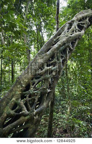 Strangler vines on tree growing in Daintree Rainforest, Australia.