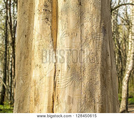 Dry wood with traces of bark beetles